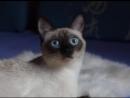 История тайской кошки-spyun--scscscrp