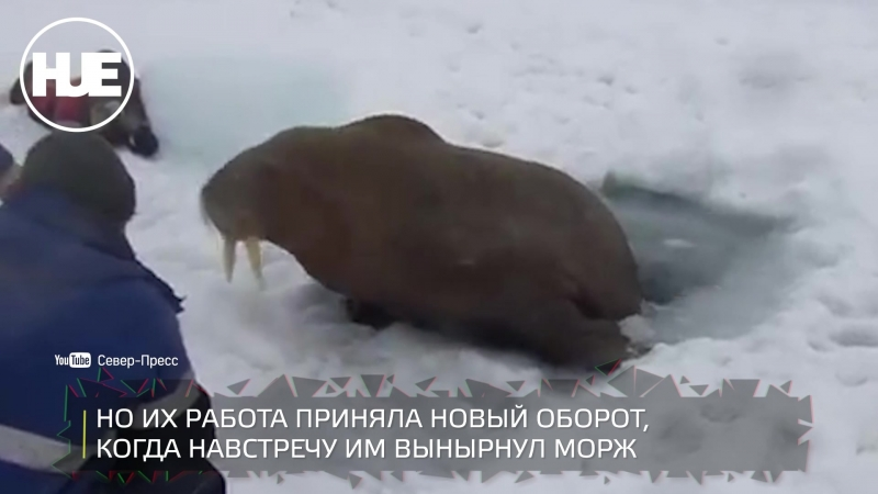 На Сабетте к вахтовикам приплыл морж и сорвал им работу