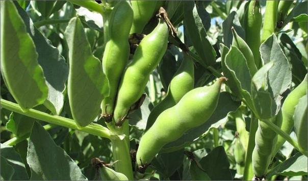 Бобы нынешним летом вырастила «ускоренным» способом, о котором узнала от знакомых. Семена этой культуры опустила в теплое подсолнечное масло (на 9 дней). Затем их вынула, хорошо обсушила и