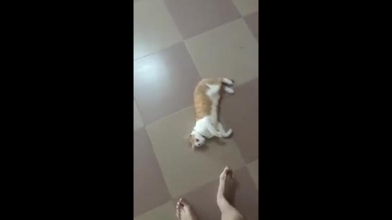 Кот любит, когда его пинают как футбольный мяч (VIDEO ВАРЕНЬЕ)