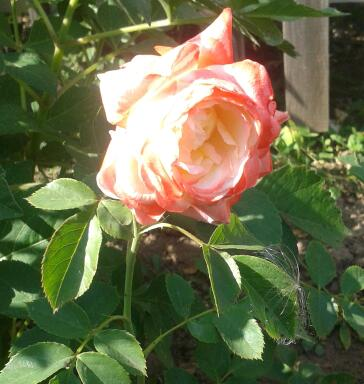 Цветы у Ликки Hf16wk1a_X8