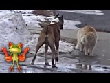 Бои животных. Кот против собаки