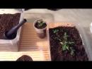 28. Проверенный временем способ выращивания рассады перца и помидор