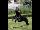Питбуль - спортивная собака