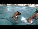 SLIP 'N SLIDE BOXERS ON POOL COVER!! (Brock the Boxer Dog)