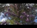 Глициния цветет в Геленджике