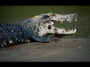 Бои чёрного каймана с другими животными