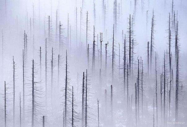 Лес, уничтоженный жуками-короедами. Шумава, Чехия