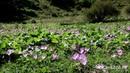 Цветение безвременников в ущелье реки Гондарай
