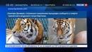 Новости на Россия 24 • В американском зоопарке усыпили тигра из России