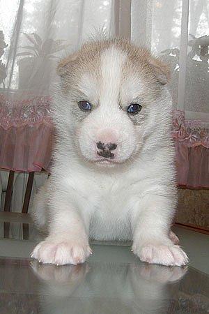 "питомник собак ""Золото Небес"" - Страница 3 X_f9713bc9"