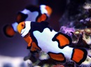 Clown fish biak.  Blackfinned clownfish.  Eastern clown anemonefish.