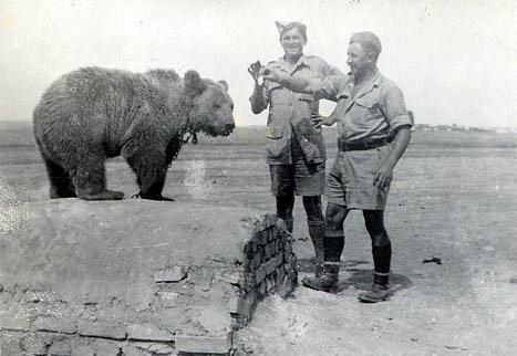 Сирийский бурый медведь, найденный в Иране, воюет в советско-британской армии в Италии за родную Польшу в составе Германии
