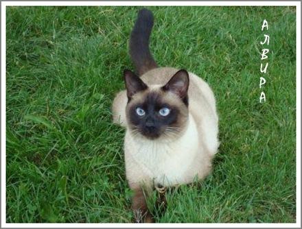 Мы с мужем давно вынашивали идею недорого купить сиамскую кошку.