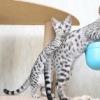 Продажа котят Бенгальских домашние леопарды