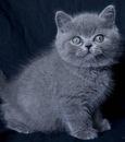Фотографии Британские плюшевые котята.