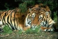 """Предпросмотр схемы вышивки  """"Тигр в ночи """"."""
