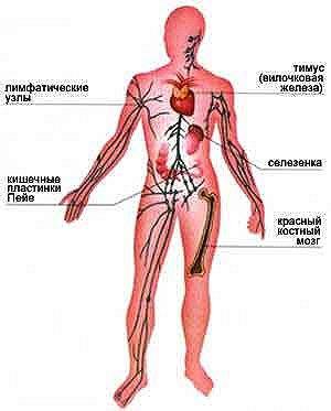 Органы иммунной системы.