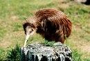 Киви - моногамные птицы, пары у них образуются не менее, чем на 2-3...
