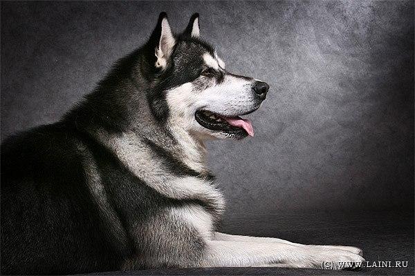 Описание: Продам щенков западно-сибирской лайки (имеется.