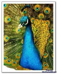 Характерным признаком павлина-самца является сильное развитие верхних кроющих перьев.