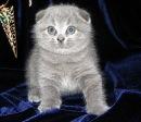Re: Продаю вислоухих котят.