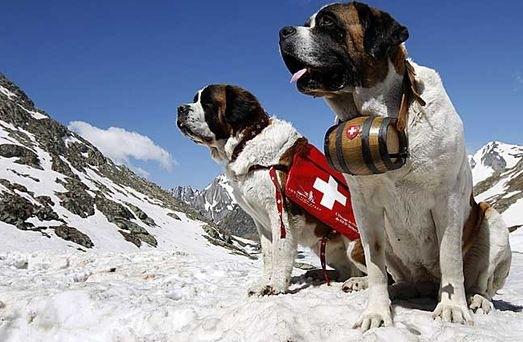 Собаки породы сенбернар в