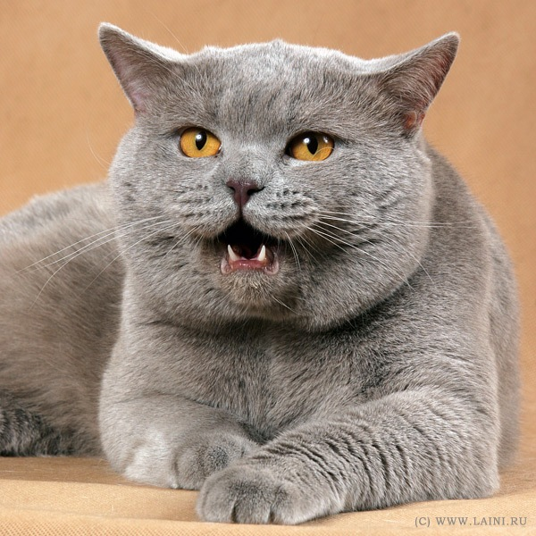 Британские Голубые и Лиловые коты Британцы.