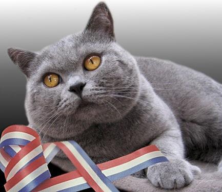 Британская кошка. павлира. кошки.  Метки. британские котята.