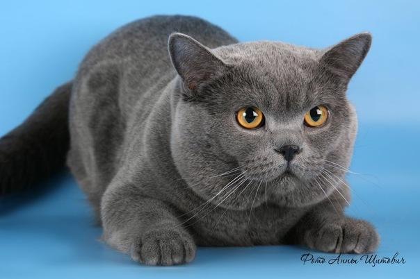 Британский кот фото цена.