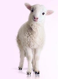 Продажа баранов и овец.  Мясо баранины.