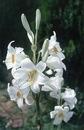 букет белая лилия из бисера схемы.