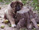 собакой картинки. щенки кавказкой овчарки. щенка кавказской овчарки.