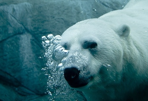 Белых медведей в природной среде обитания. добавлено.