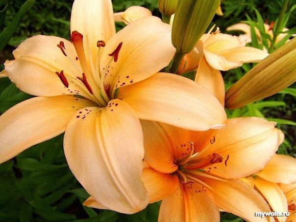 Цветы лилии обои.