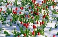 Тюльпаны ,уже весна!