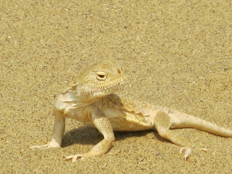 ящерица в Сарыкум - около Махачкалы
