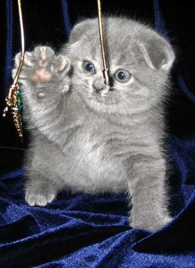 Шотландские котята голубого окраса Доска бесплатных объявлений России.