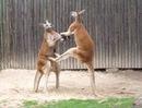 Кенгуру могут драться, при этом они используют острые когти на передних...