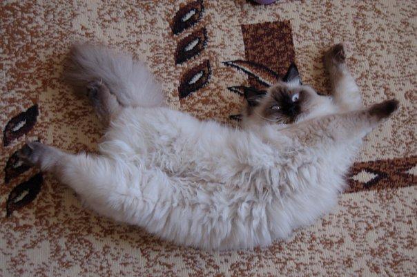 У кошки если у кошки висит живот