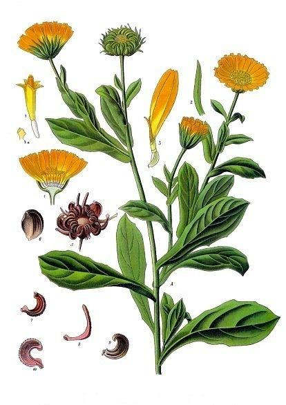 календула фото растения