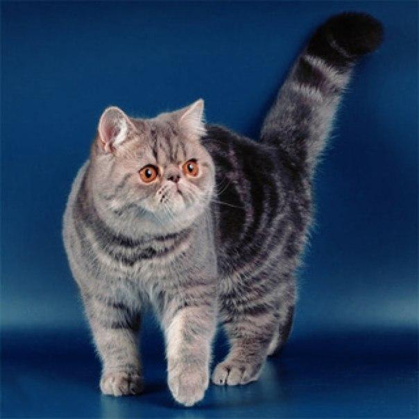Экзотические короткошерстные кошки являются разновидностью персидских.