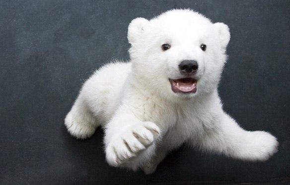 Белый медведь, Приполярные