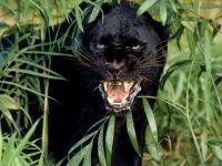 """Предпросмотр схемы вышивки  """"Пантера """".  Пантера, животные, дикие кошки, природа, хищники, пантера."""