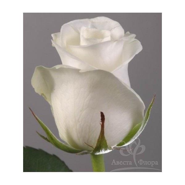 оптовые цветочные базы.  Роза Akito.