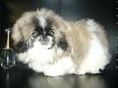 Фотографии Пекинес.  Элитный щенок.  Предыдущее изображение - Следующее...