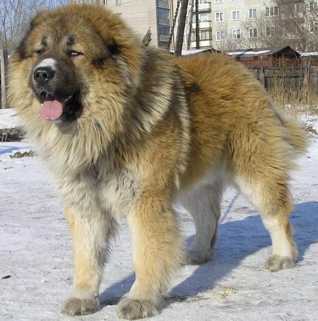 Посмотрите на кавказских овчарок и сравните их с собаками, которые живут...