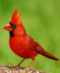 Common Cardinal, Чебоксары, id89262335