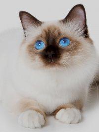 купить кошку «мурлыка»