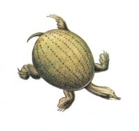 ...или дальневосточная, черепаха.